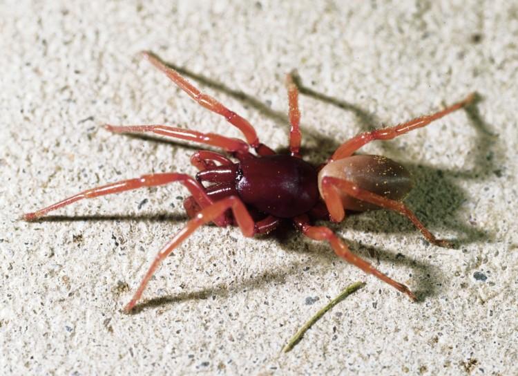photo of male woodlouse spider