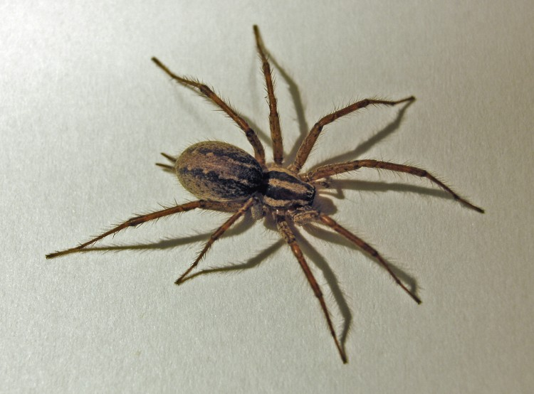 portrait of a grass spider