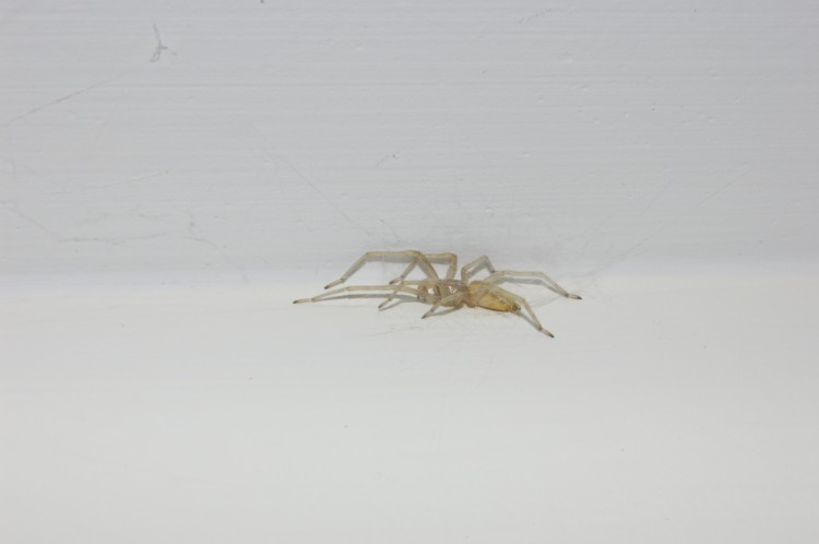 photo of yellow sac spider in cocoon