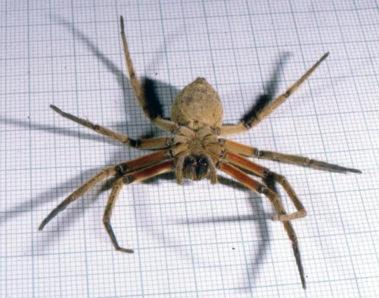 photo of underside of wandering spider