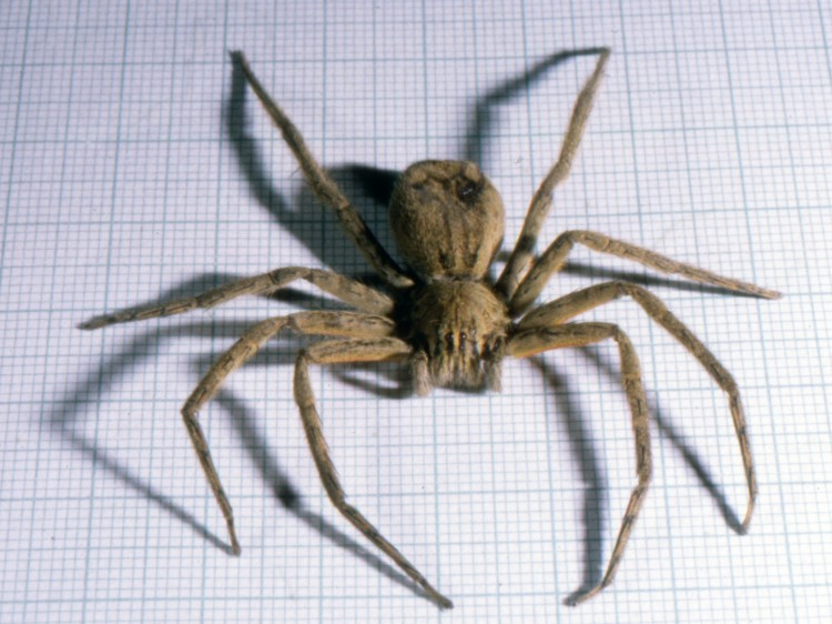 photo of dead wandering spider