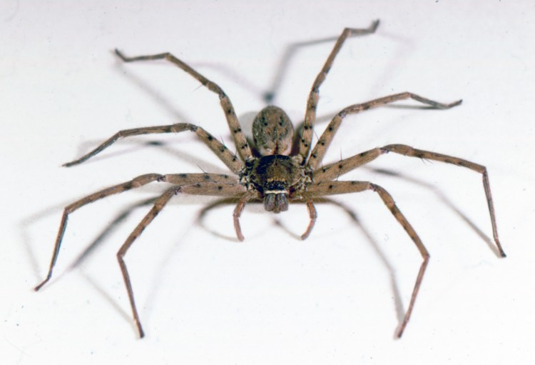 photo of female huntsman spider