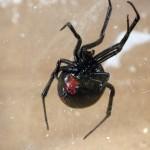 photo of southern black widow