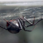 photo of northern black widow hanging in a web