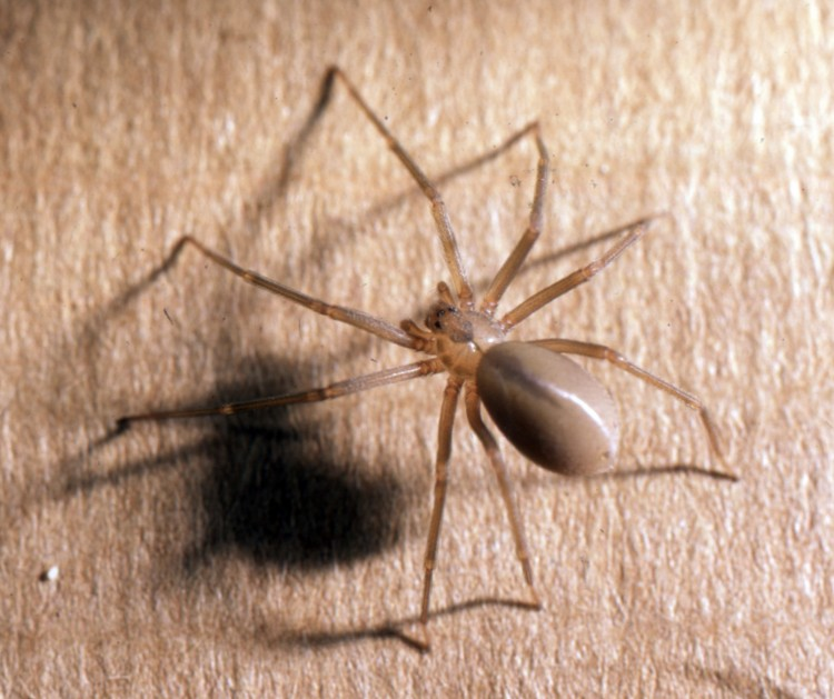 picture of brown recluse with visible heart mark