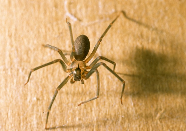 portrait of a brown recluse from above