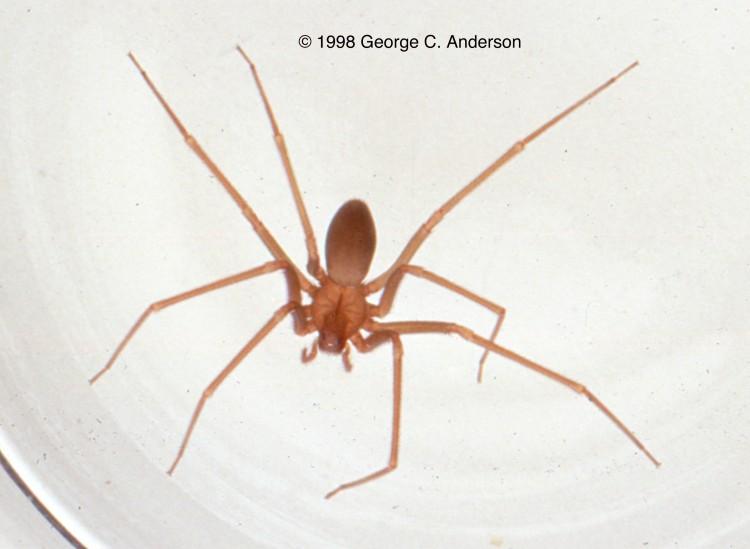 photo of Mediterranean recluse