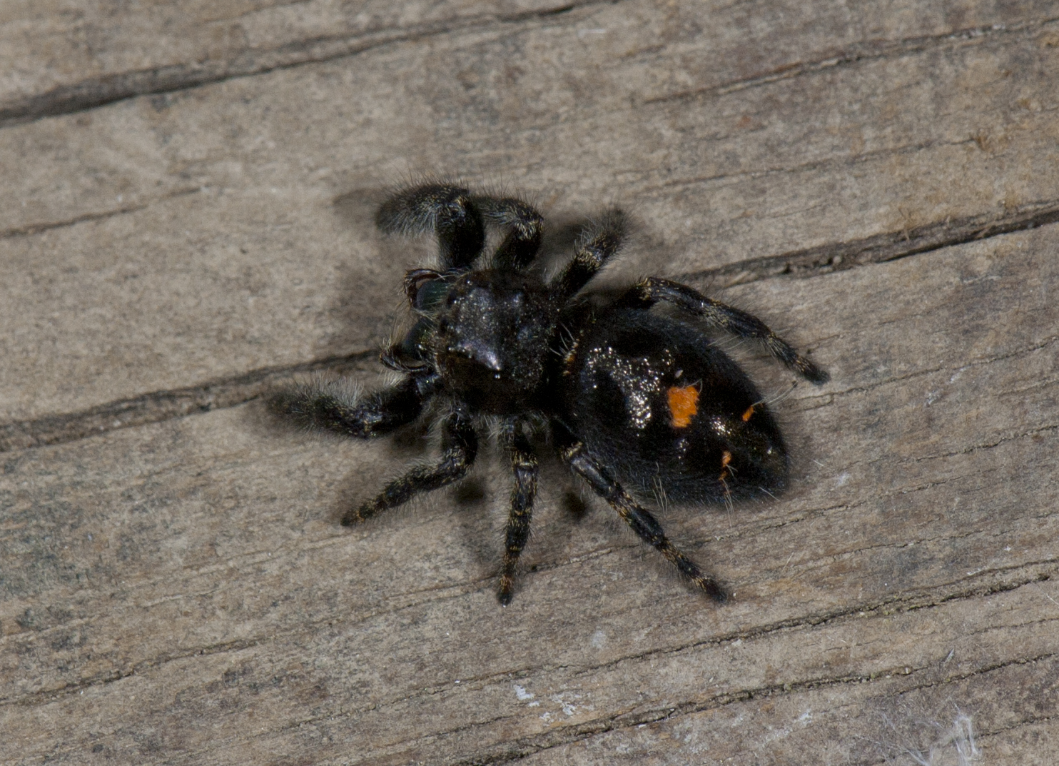 Black jumping spider with red dot - photo#3
