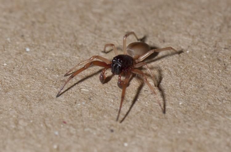 photo of male bullheaded sac spider