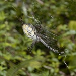 photo of banded garden spider