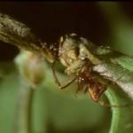 photo of female Neospintharus trigonum