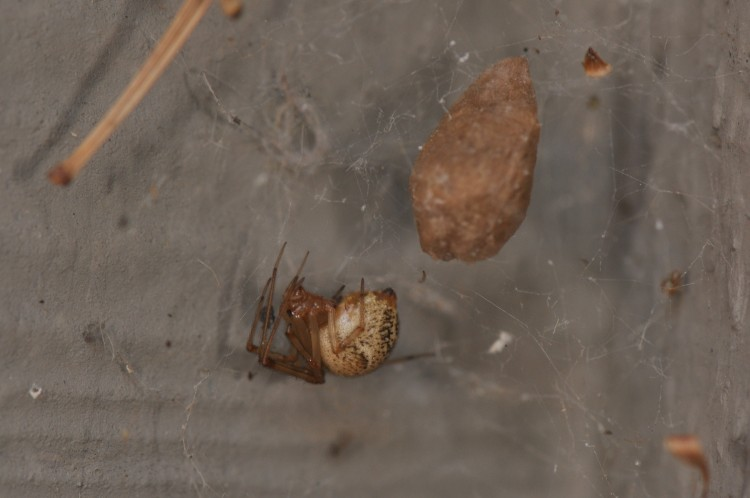 photo of common house spider with egg case