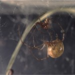photo of pair of common house spiders