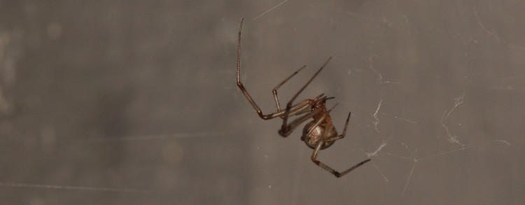 photo of common house spider