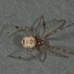 photo of female common house spider