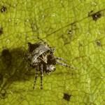 Acanthepeira stellata subadult female