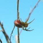 Araniella displicata female