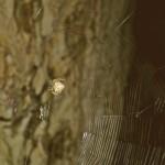Araneus cavaticus female in her web