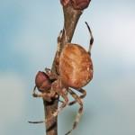 Araneus diadematus female