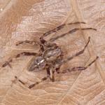 Araneus diadematus male