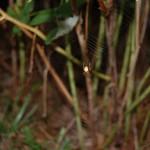 Araneus marmoreus female in her web