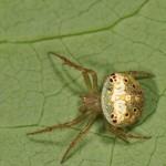 Araneus partitus female