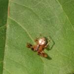 Araneus pegnia male