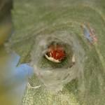 Araneus thaddeus in her retreat
