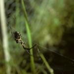 Argiope aurantia female in her web