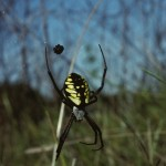Argiope aurantia female