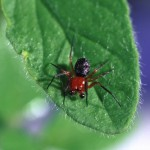 Hypsosinga rubens male