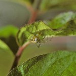 Mangora gibberosa female