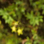 Mangora gibberosa female in her web (ventral view)