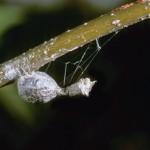 egg case of Mastophora hutchinsoni