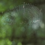 Micrathena gracilis female in her web