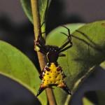 Micrathena sagittata female