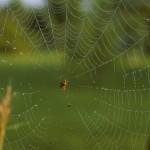 Neoscona arabesca female (in her web)