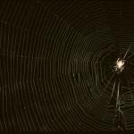 Neoscona crucifera female (in her web)