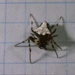 Verrucosa arenata female (black/white form)