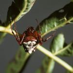 Verrucosa arenata female (red/white form)