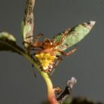 Verrucosa arenata female (red/yellow form)