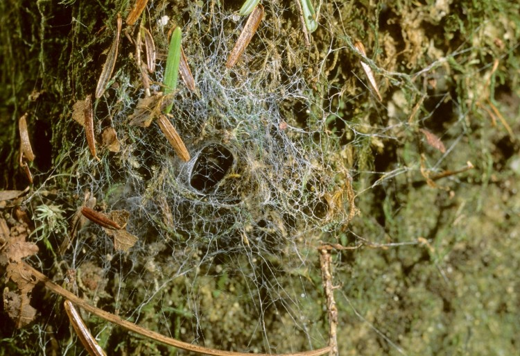 Callobius bennetti web with characteristic unkempt look