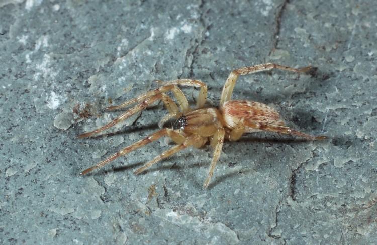 garden ghost spider Hibana gracilis female