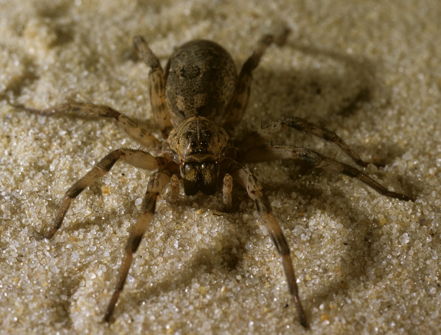 wolf spider No matter where you may live, a wolf spider may be your neighbor wolf spiders  are mostly ground-dwelling and can be found just about anywhere that they.