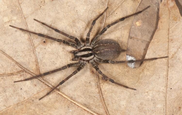 Agelenopsis naevia female