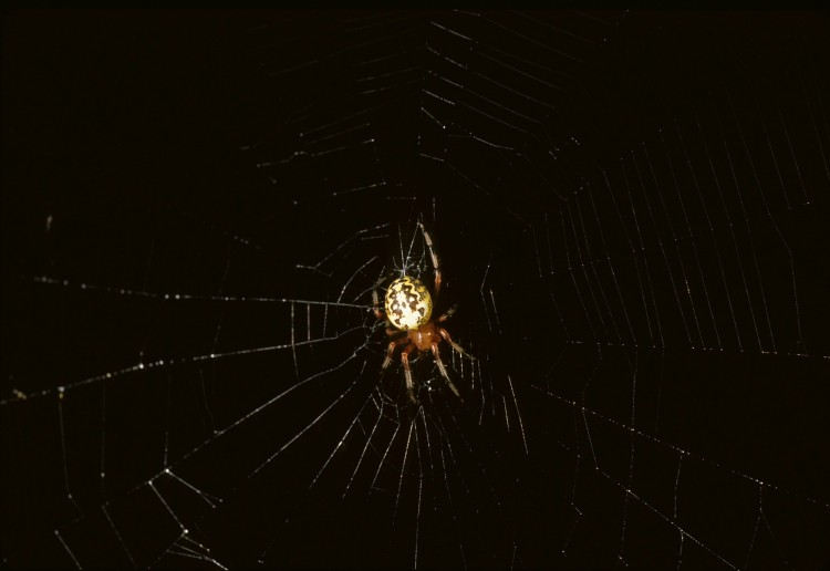 Marbled Orbweaver in her web