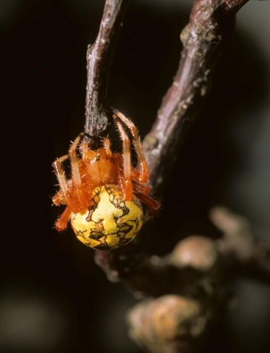 Marbled Orbweaver (Araneus marmoreus) female