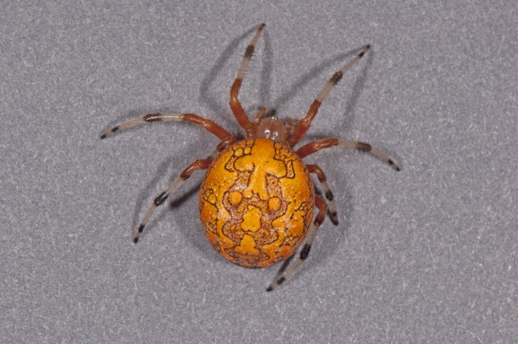 """Halloween Spider"" an orange color form of Marbled Orbweaver"