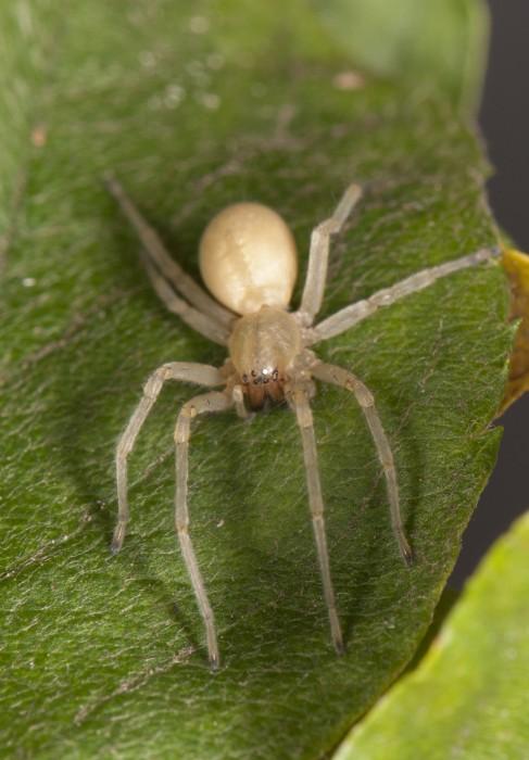 Yellow Sac Spider (Cheiracanthium mildei) female