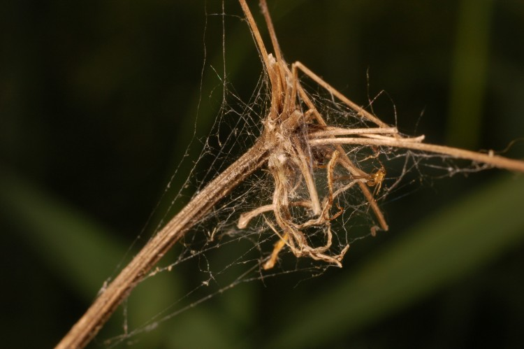 web of a mesh weaver on the tip of a dead plant